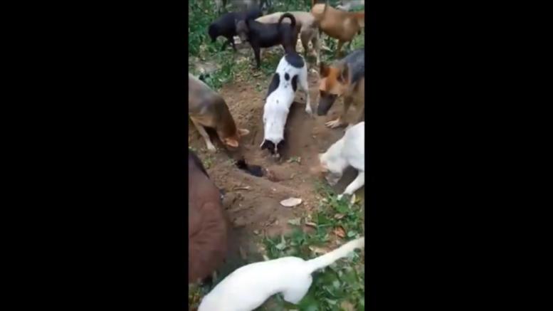 cani seppelliscono cagnolino video commovente