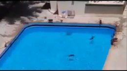 scimmie invadono hotel e si tuffano in piscina